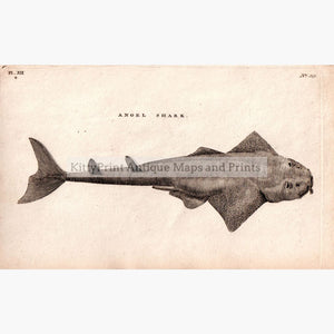 Angel Shark 1808 Prints