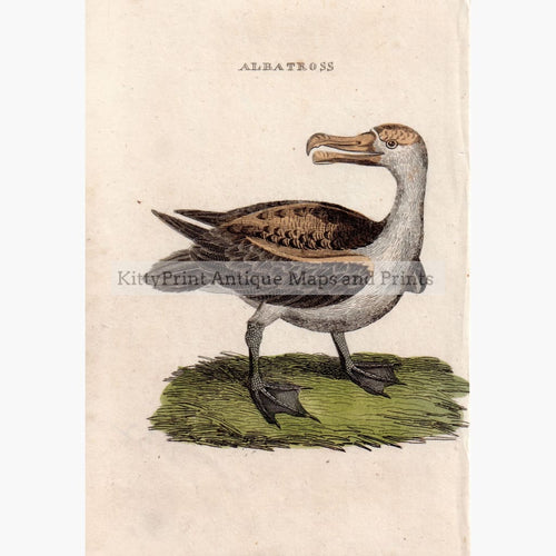 Antique Print Albatross c.1750 Prints