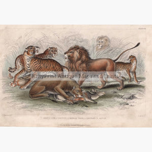 Antique Print Asiatic Lion Lioness Bengal Tiger 1859 Prints