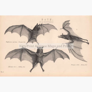 Antique Print Bats Chiroptera 1881 Prints