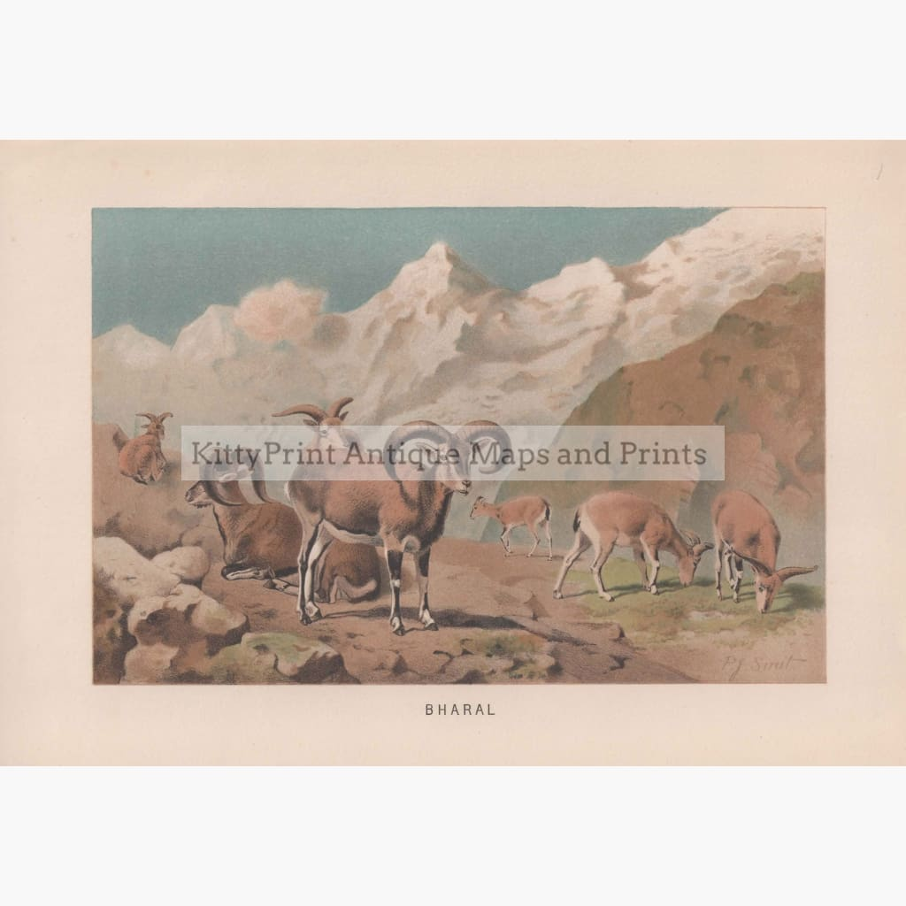 Antique Print Bharal 1894 Prints