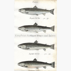 Antique Print Bull-Trout Pl.XXXIII 1838 Prints