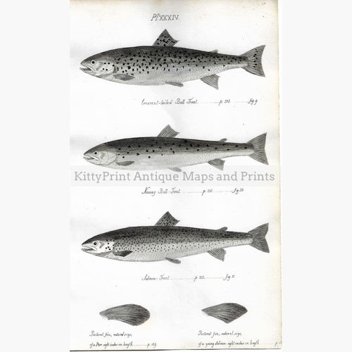 Antique Print Bull Trout Pl.XXXIV 1838 Prints