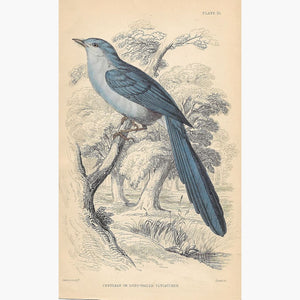 Antique Print Cerulean or Long-Tailed Flycatcher 1860 Prints