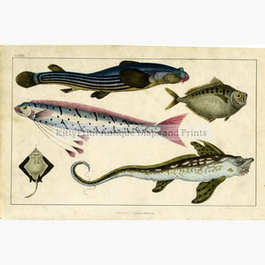 Antique Print Five Fish 1855 Prints