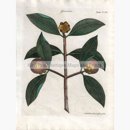 Antique Print Garcinia 1797 Prints
