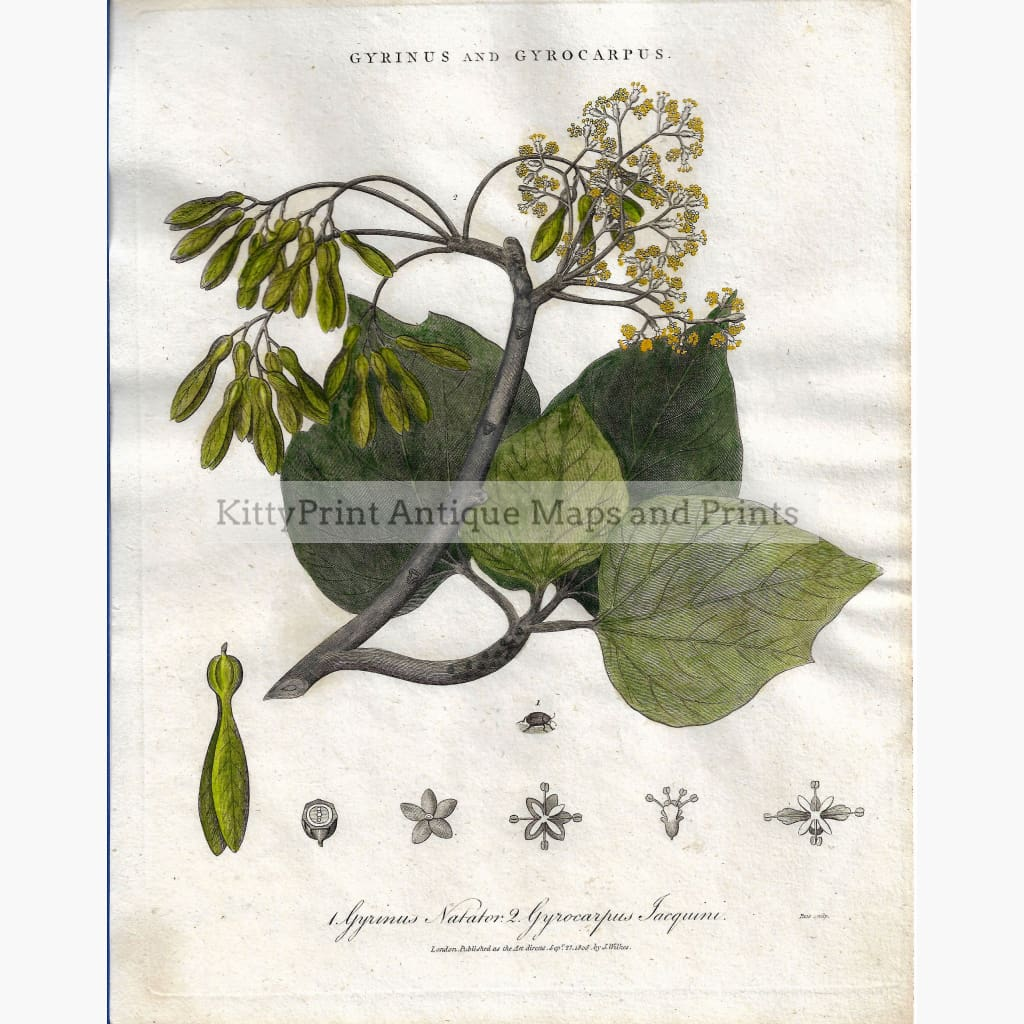 Antique Print Gyrinus and Gyrocarpus 1806 Prints