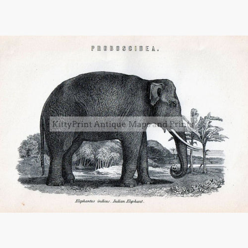 Antique Print Indian Elephant 1881. Prints