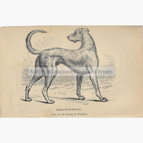 Antique Print Irish Wolfhound c.1880 Prints