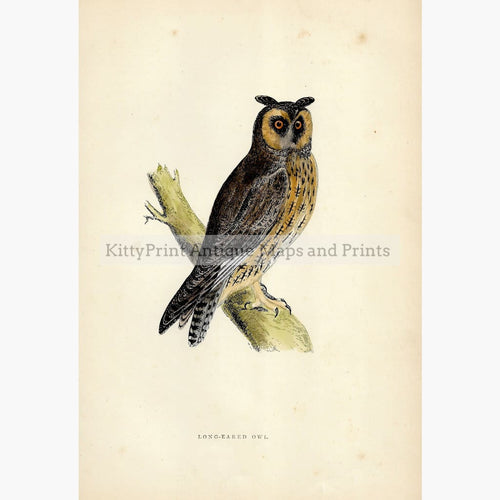 Antique Print Long-Eared Owl c.1860 Prints