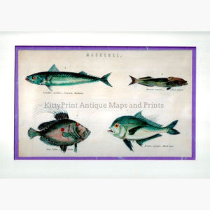 Antique Print Mackerel C.1880 Prints