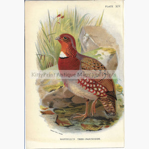 Antique Print Mandellis Tree Partridge 1895 Prints