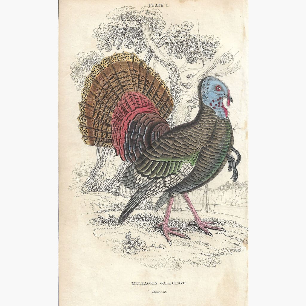 Antique Print Meleagris Gallopavo 1860 Prints