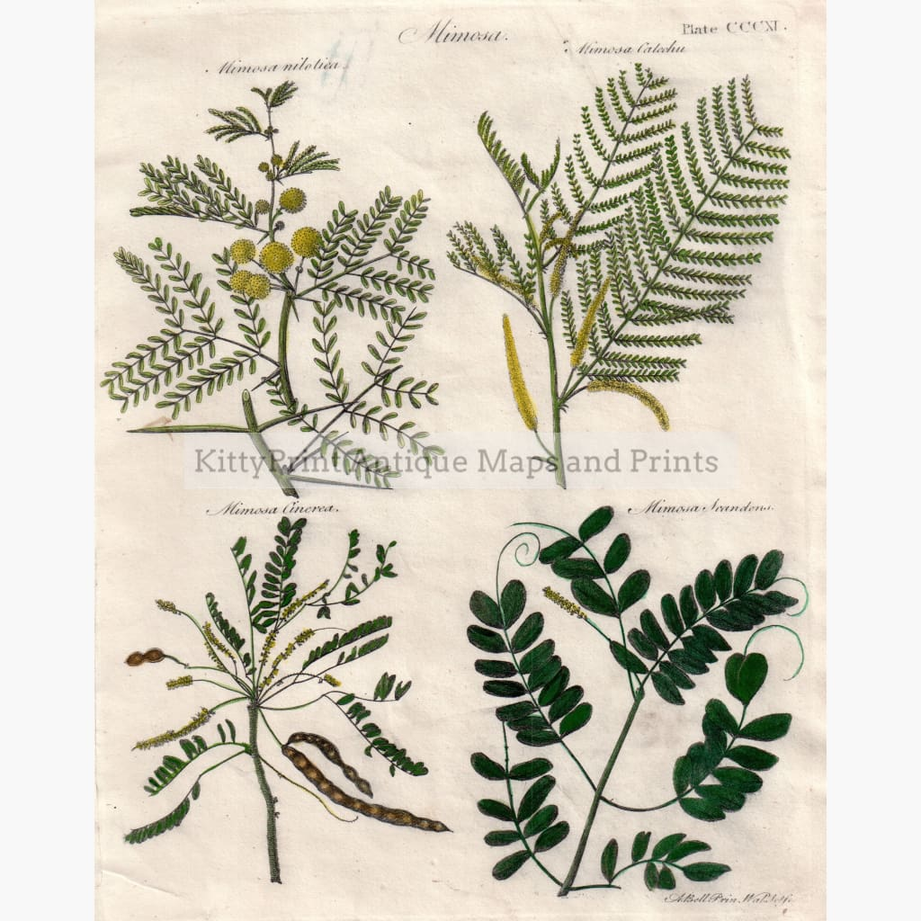 Antique Print Mimosa 1797