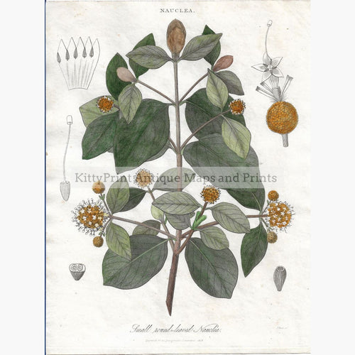 Antique Print Nauclea 1818 Prints