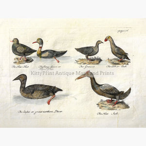 Antique Print Northern Geese Auk 1755 Prints