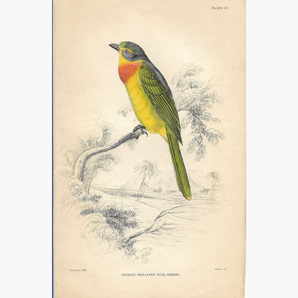 Antique Print Orange Breasted Bull Shrike 1860 Prints