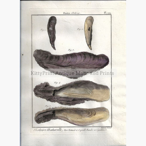 Antique Print Oysters Plate179 c.1790 Prints