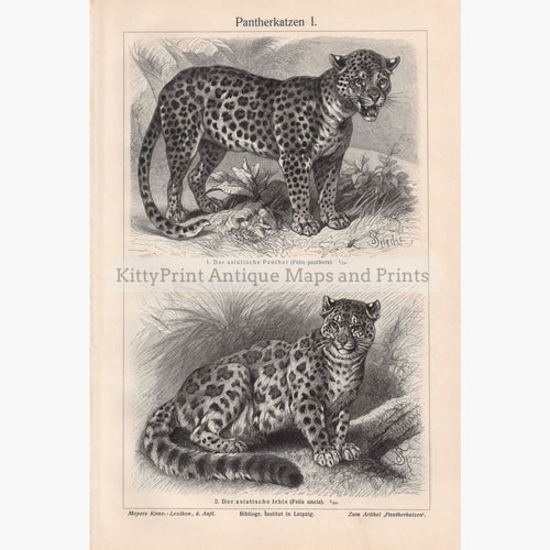 Antique Print Panther Snow Leopard 1906 Prints
