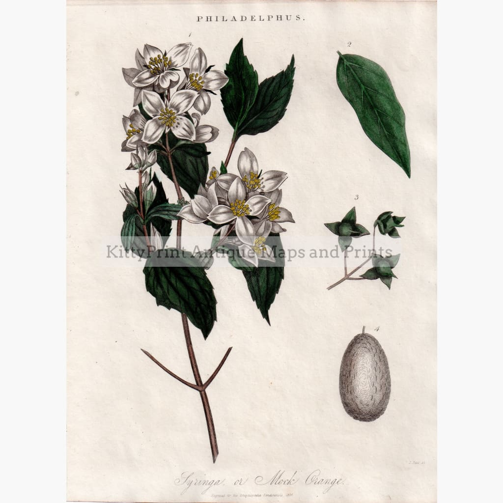 Antique Print Philadelphus 1824 Prints