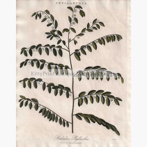 Antique Print Phyllanthus 1825 Prints