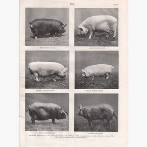 Antique Print Pig 1910 Prints