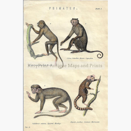 Antique Print Primates 1881 Prints