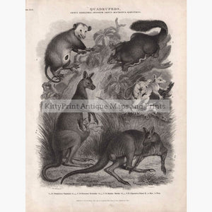 Antique Print Quadrupeds. Opossum Kangaroo 1810 Prints