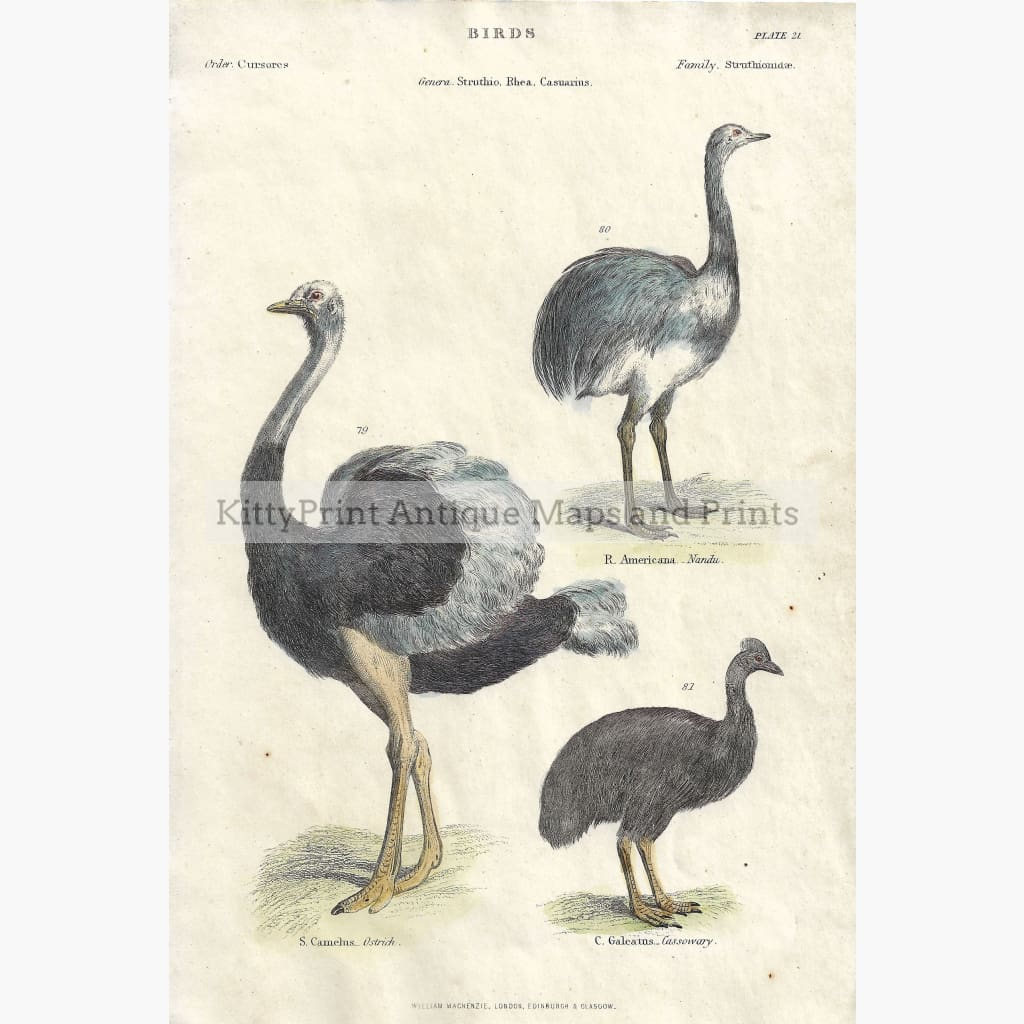 Antique Print Rhea Ostrich c.1860 Prints