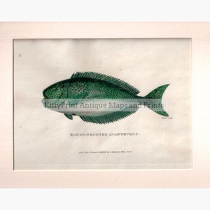 Antique Print Round-Fronted Acanthurus 1803 Prints