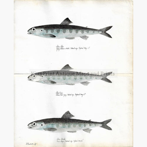 Antique Print Salmon 1838. Prints