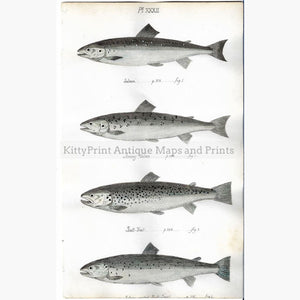 Antique Print Salmon Bull Trout 1838 Prints