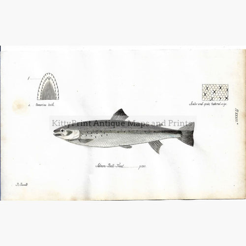 Antique Print Salmon-Bull-Trout,1838 Prints