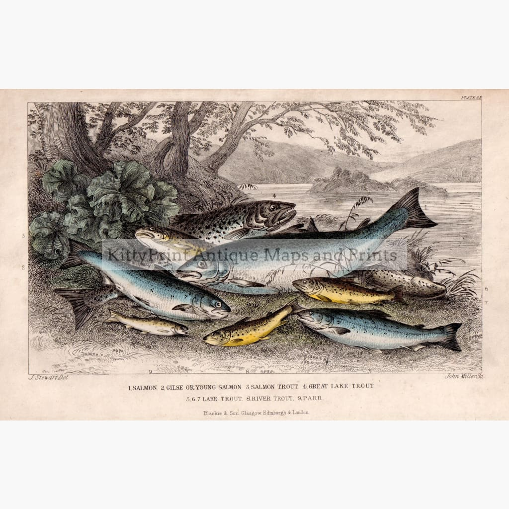 Antique Print Salmon Gilse Trout C.1850 Prints