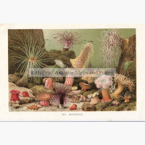 Antique Print Sea Anemones 1906. Prints