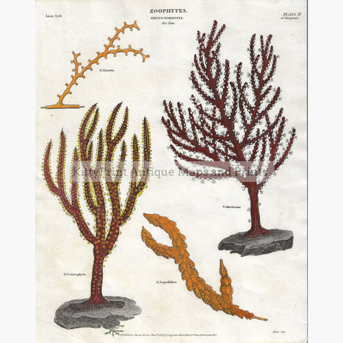 Antique Print Sea Fan 1808 Prints