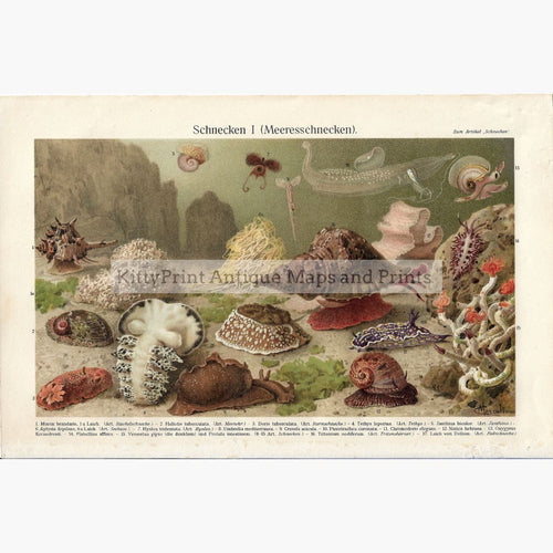 Antique Print Sea Snails 1906. Prints