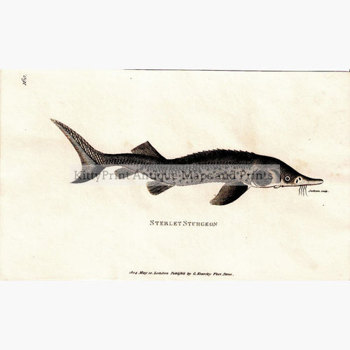 Antique Print Sterlet Sturgeon 1804 Prints