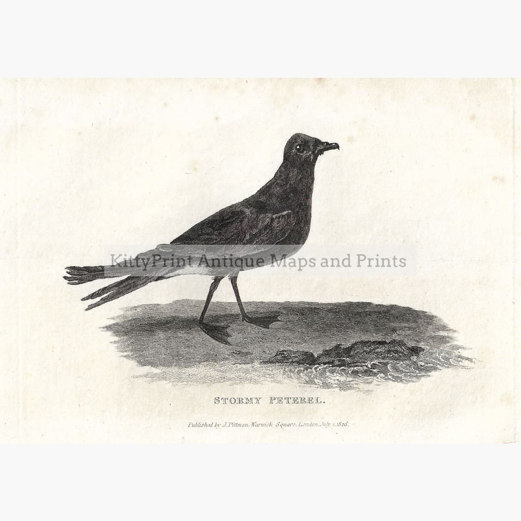 Antique Print Stormy Peterel 1826 Prints