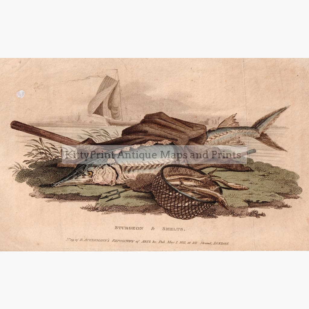Antique Print Sturgeon & Smelts 1811 Prints