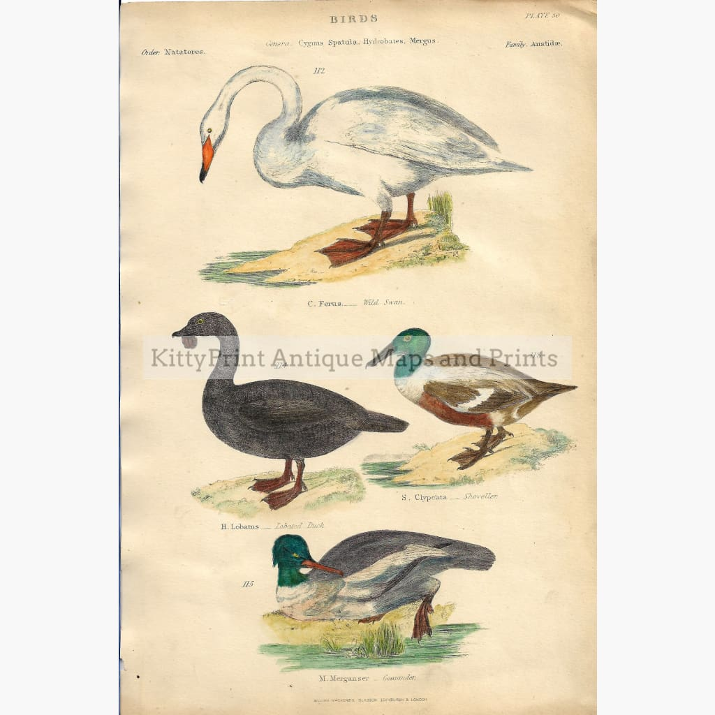 Antique print Swan Duck c.1860 Prints