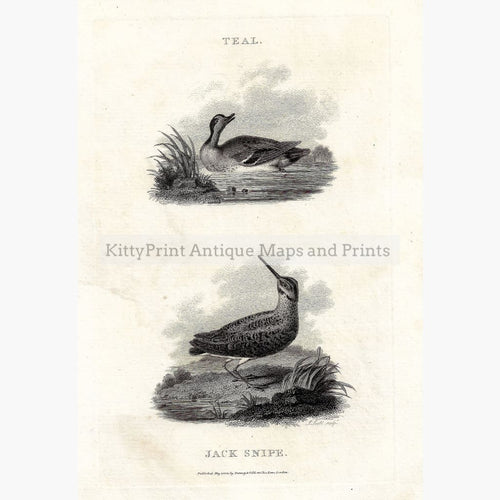 Antique Print Teal Jack Snipe 1802 Prints