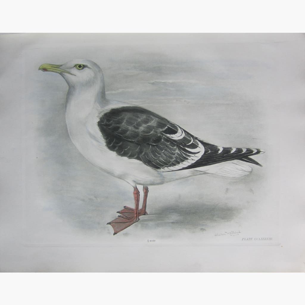 Antique Print,The Great Black-Backed Gull 1909 Prints