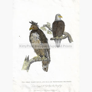Antique print The Great Harpy Eagle and Sea-Eagle 1830 Prints