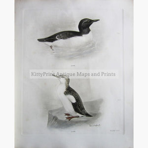 Antique Print The Guillemot 1909 Prints