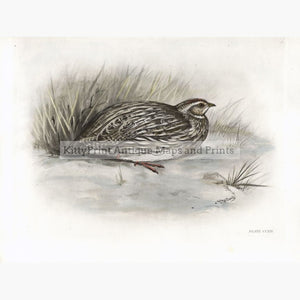 Antique Print The Quail 1909 Prints