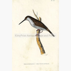 Antique Print Thiothurus Rectirostris 1825 Prints