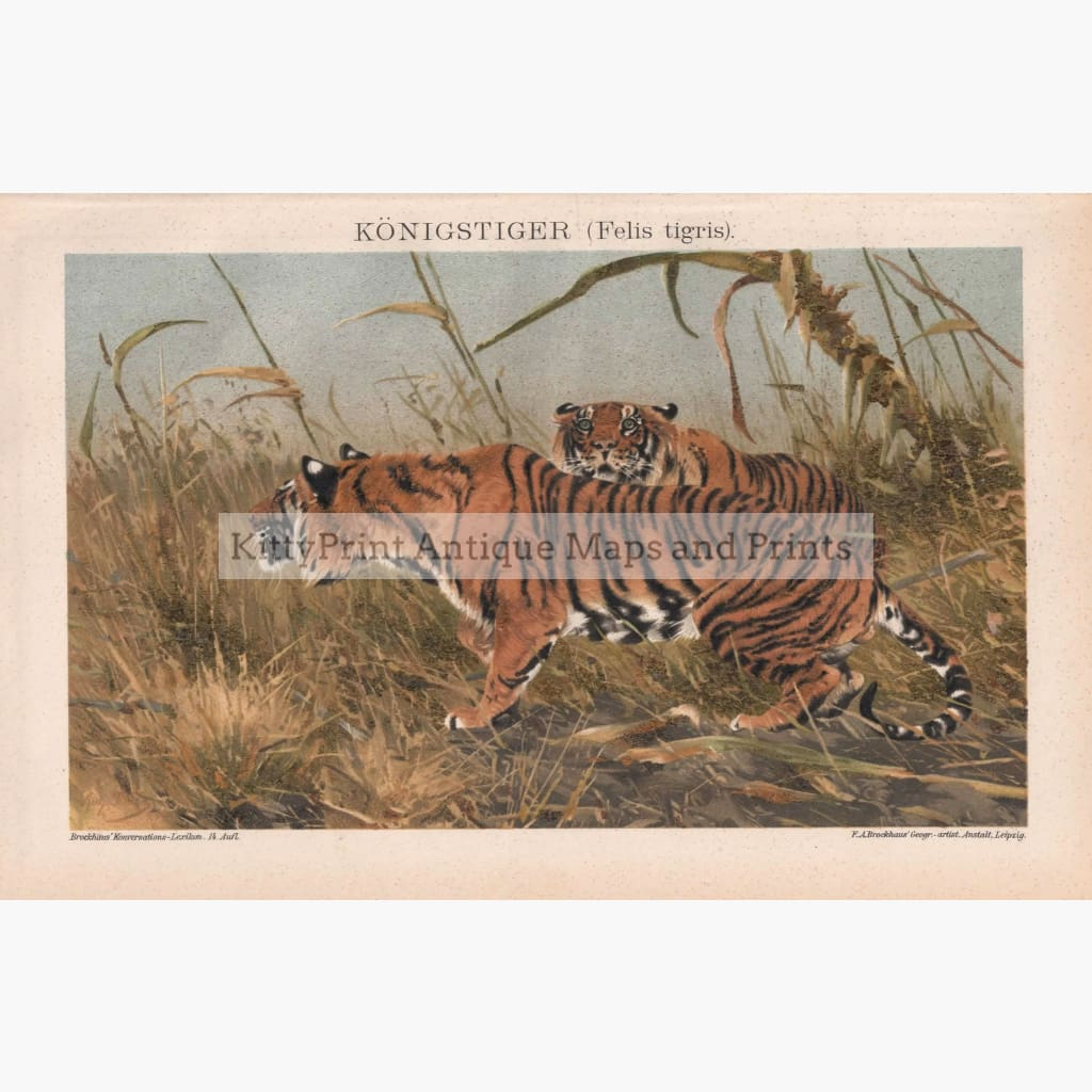 Antique Print Tiger Felis Tigris Konigstiger 1895 Prints