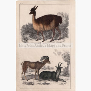 Antique Print Vicugna Of Peru Argali 1855 Prints