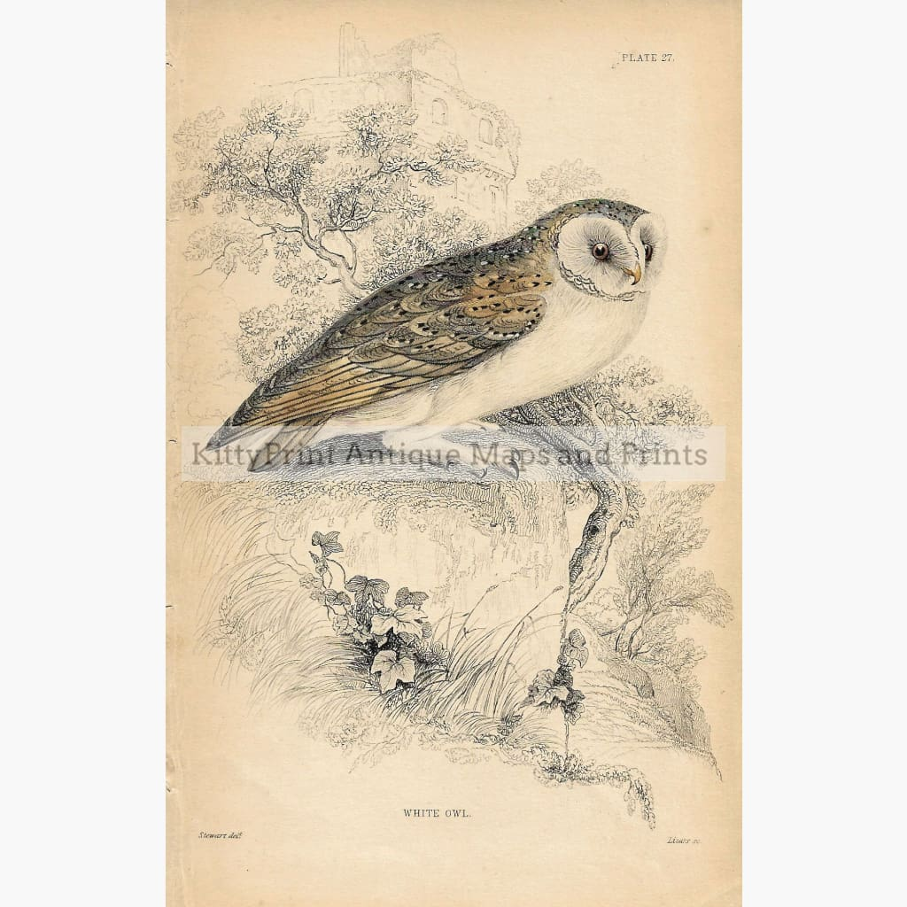 Antique print White Owl 1860 Prints